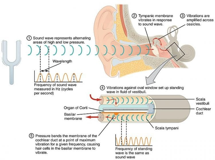 The mechanisms of the inner ear, and the outer ear's shape affect how we perceive sound sources.